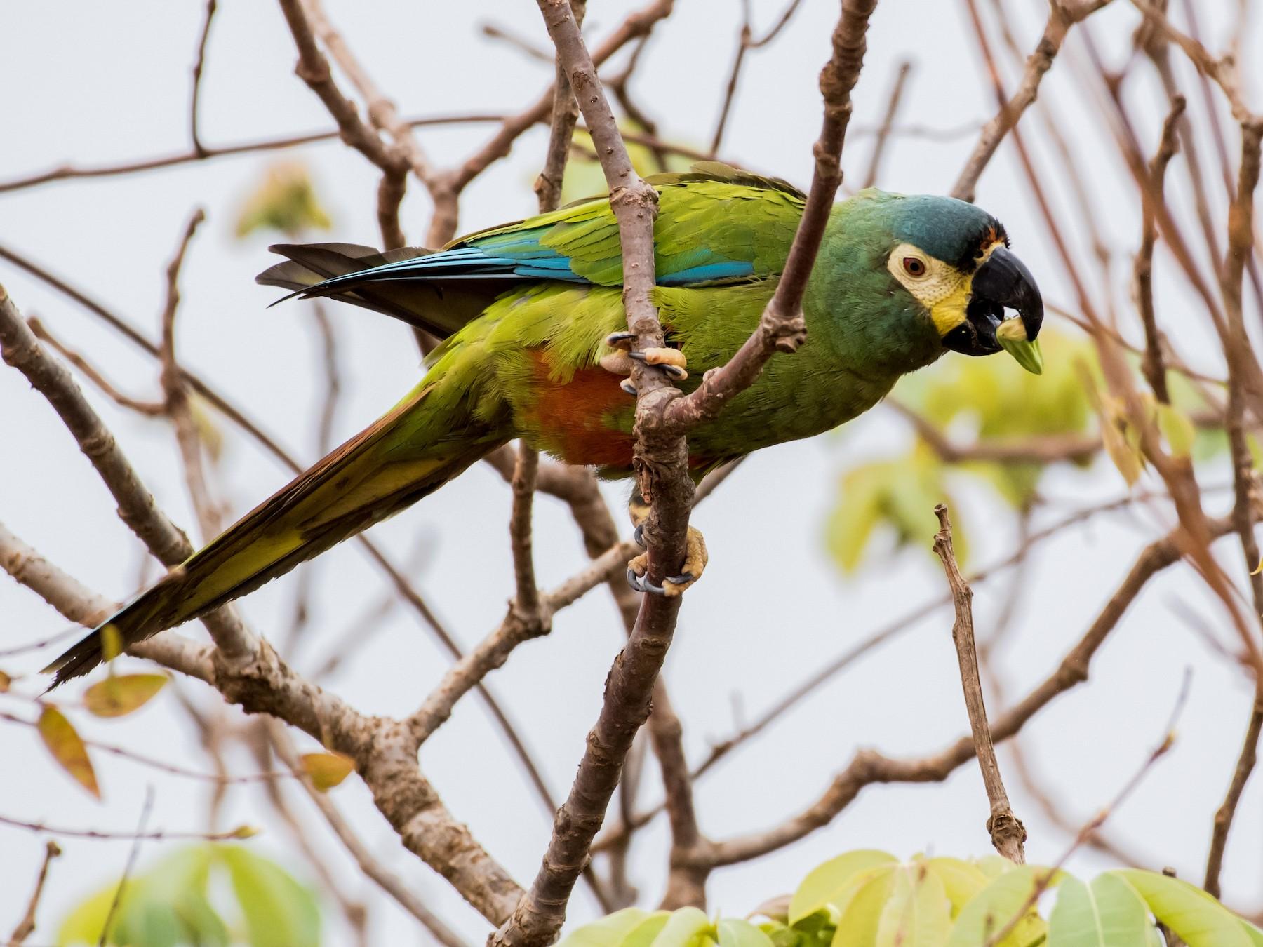 Blue-winged Macaw - Hank Davis