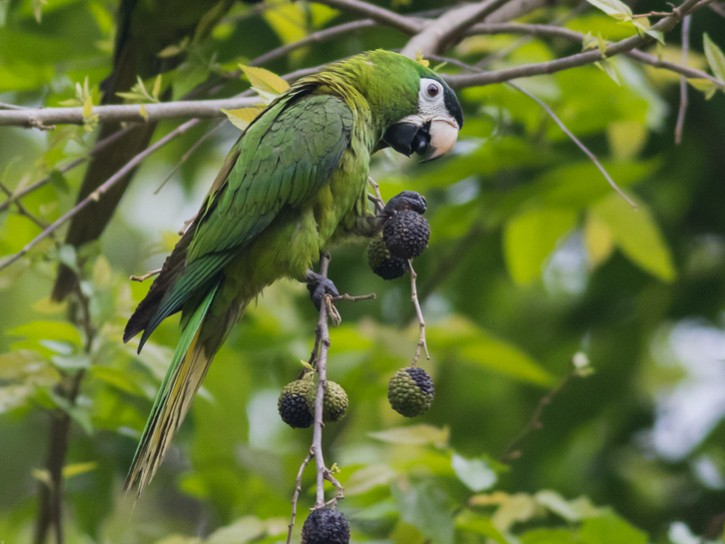 Red-shouldered Macaw - Tom Johnson