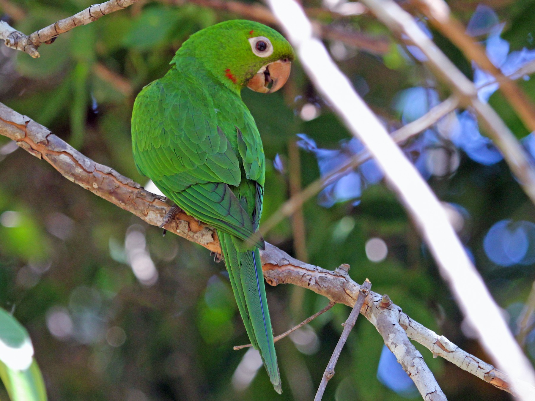 White-eyed Parakeet - Charlie Keller