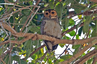 - Spotted Wood-Owl