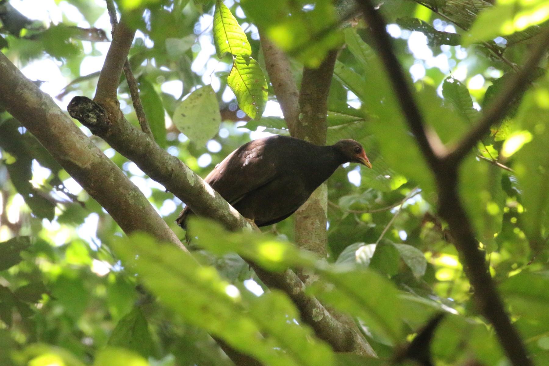 Melanesian Scrubfowl - Richard Jeffers