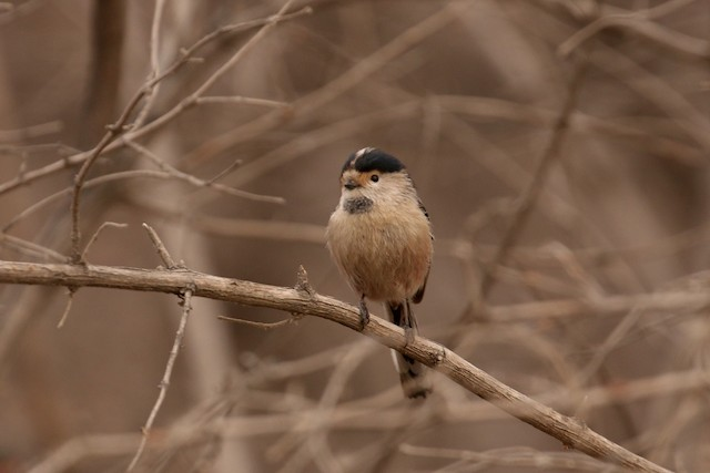 Silver-throated Tit