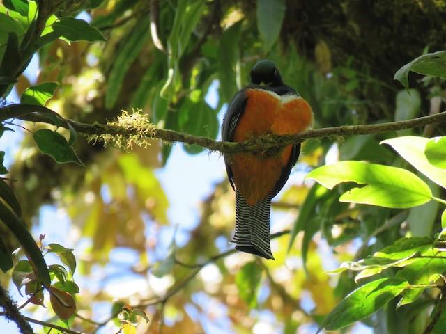 Collared Trogon (Orange-bellied)