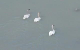 Trumpeter Swan, ML88840031