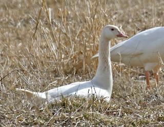 Canada Goose, ML88841711