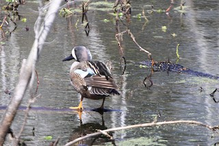 Blue-winged Teal, ML88908631