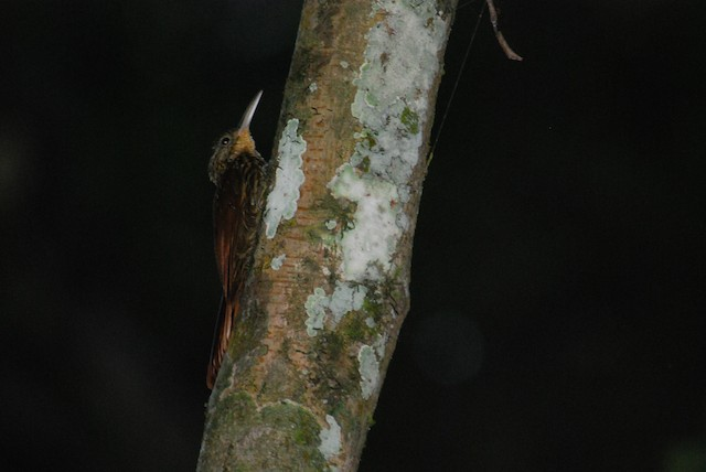 Ivory-billed Woodcreeper
