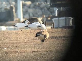 Ross's Goose, ML89042891