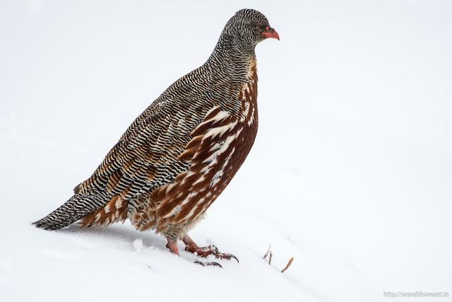Snow Partridge