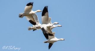 Ross's Goose, ML89293811