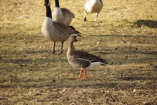 Greater White-fronted Goose, ML89300241