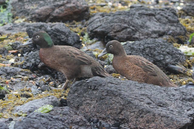 Campbell Islands Teal