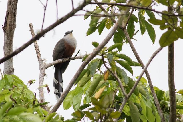 Chestnut-bellied Cuckoo