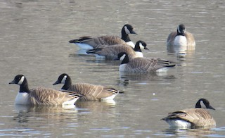 Cackling Goose, ML89320701