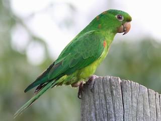 - White-eyed Parakeet
