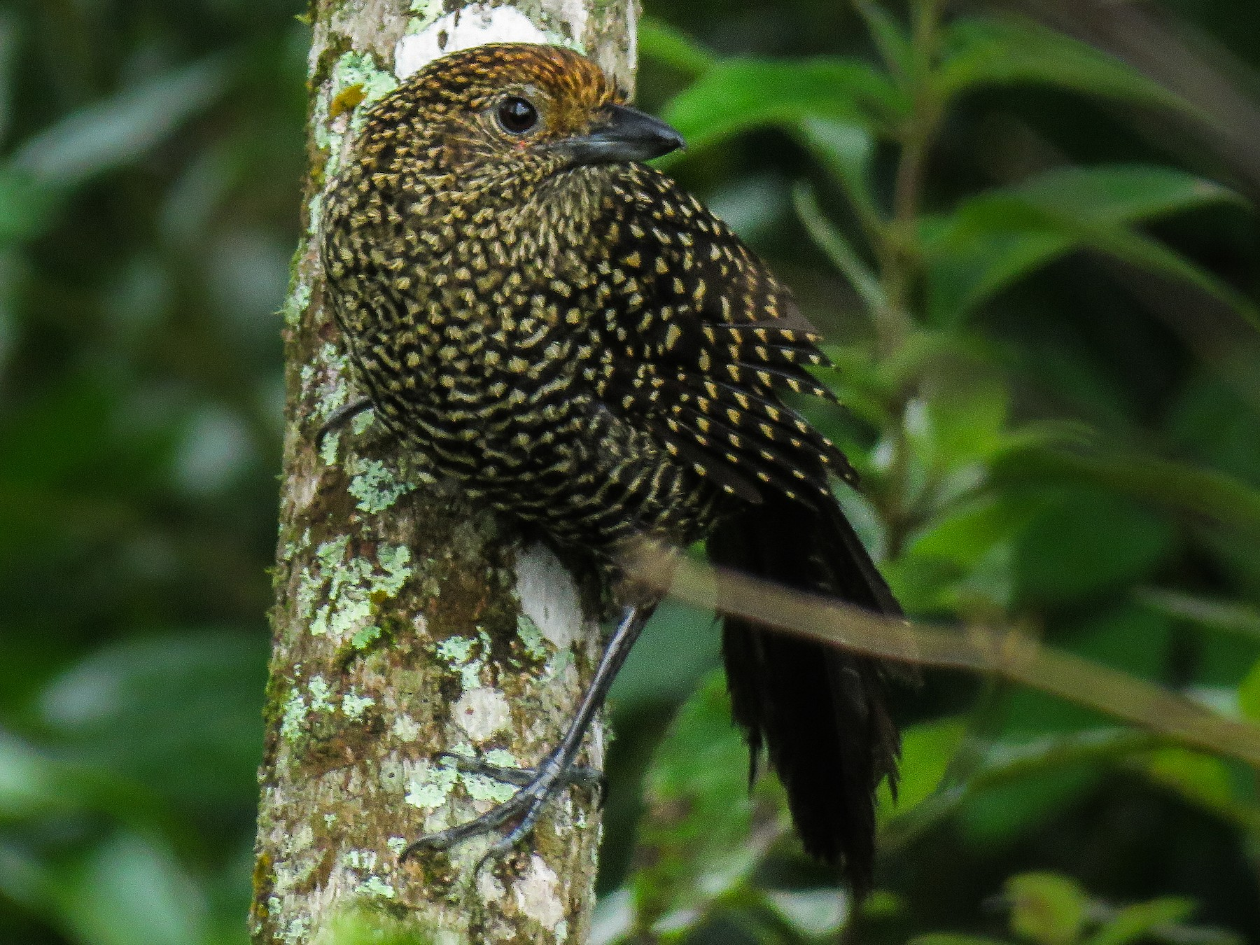 Large-tailed Antshrike - Raphael Kurz -  Aves do Sul