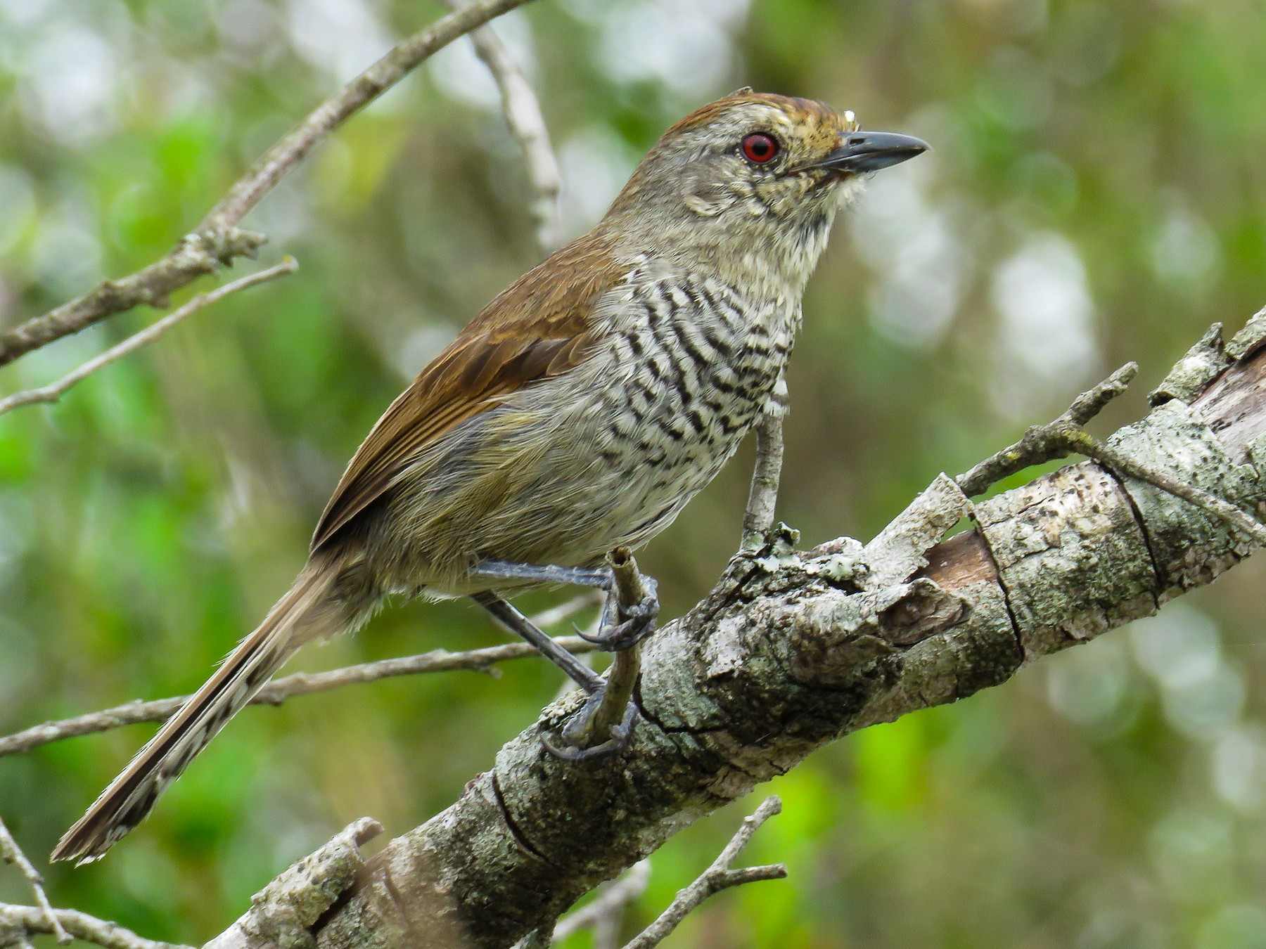 Rufous-capped Antshrike - Raphael Kurz -  Aves do Sul