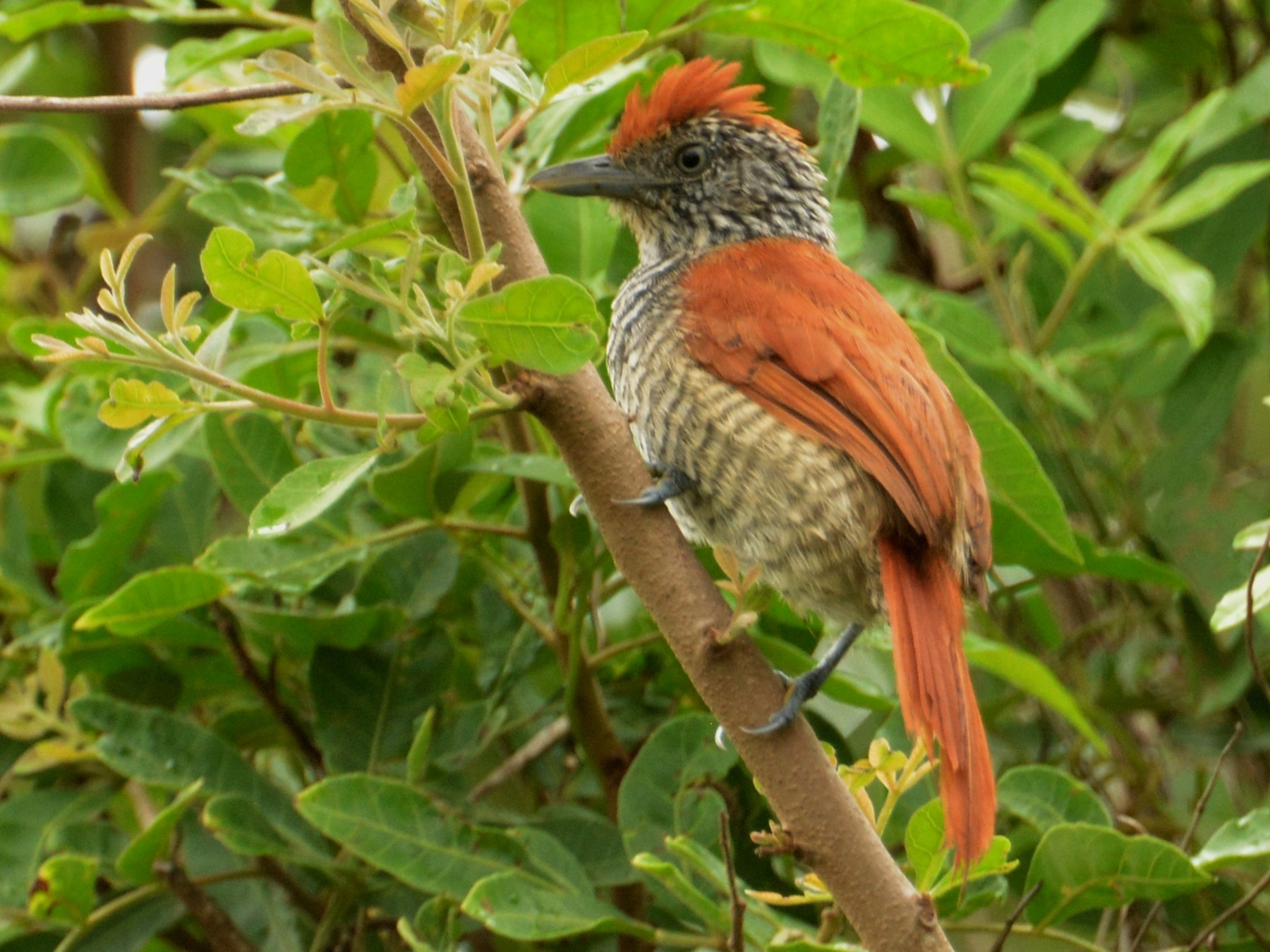 Chestnut-backed Antshrike - Oliver Prioli