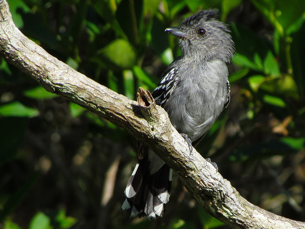 Variable Antshrike - Fabricio Gorleri