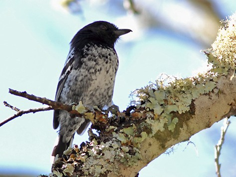 Variable Antshrike - Ramiro Ramirez