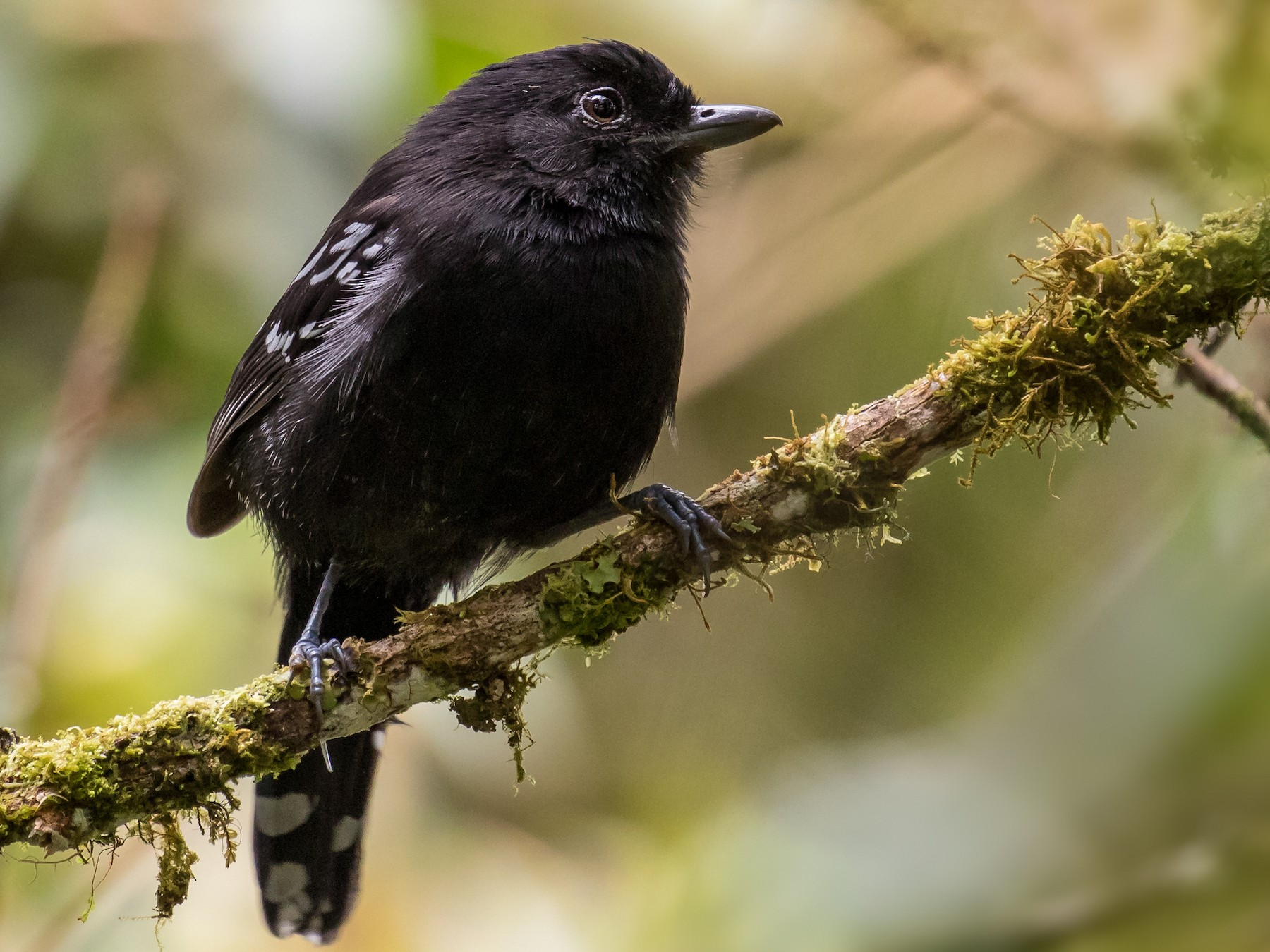 Variable Antshrike - Peter Hawrylyshyn
