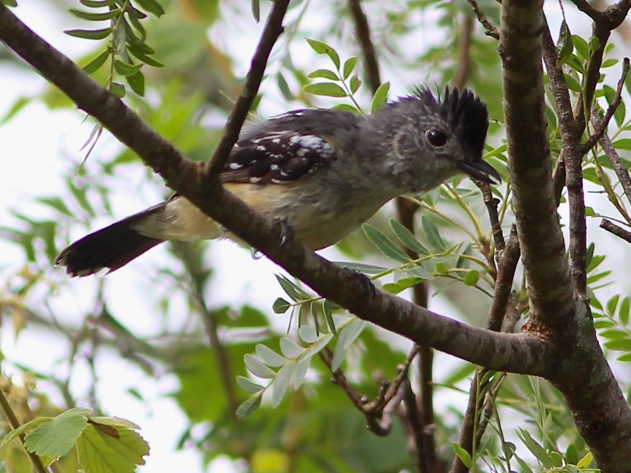 Variable Antshrike - Oscar  Johnson