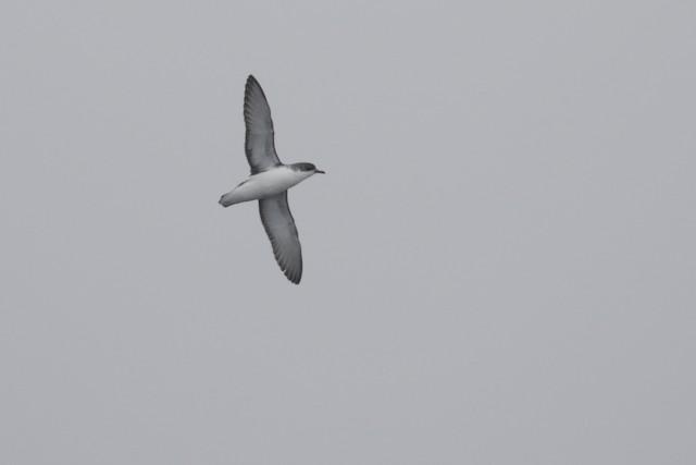 Subantarctic Shearwater