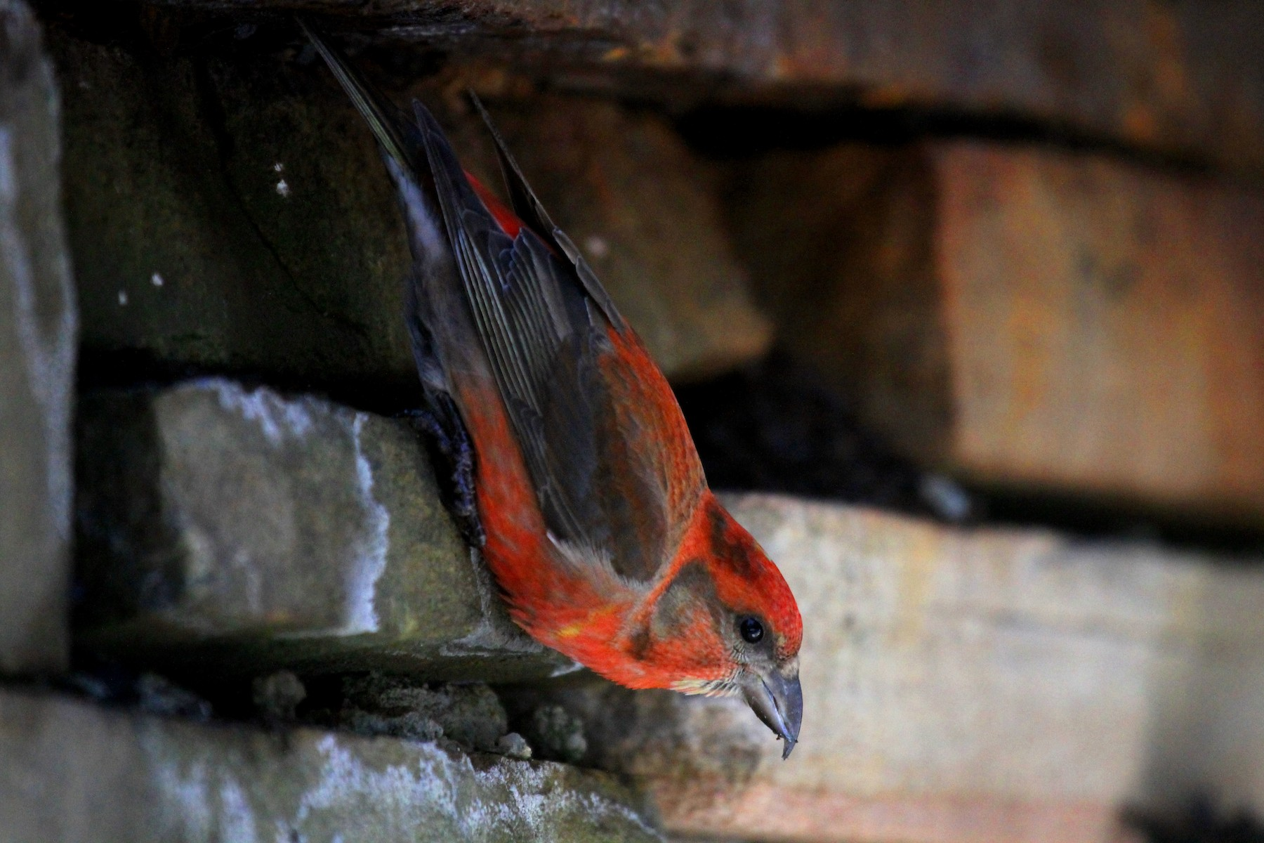 Red Crossbill (Appalachian or type 1) - Aaron Graham