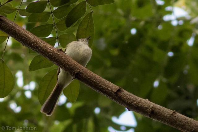 Jamaican Elaenia