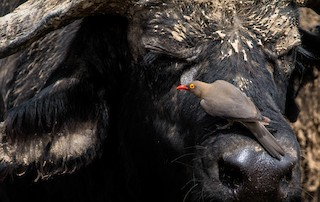 - Red-billed Oxpecker