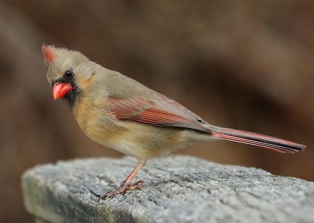 Female Northern Cardinal (subspecies <em>cardinalis</em>).