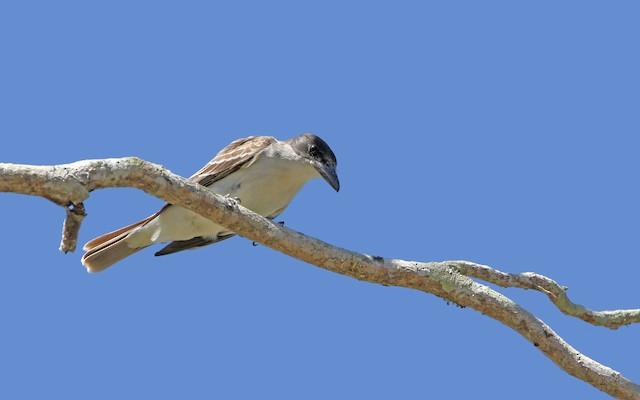 Giant Kingbird