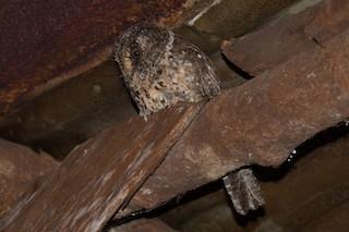 - Mountain Owlet-nightjar