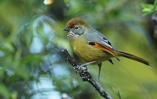 - Chestnut-tailed Minla