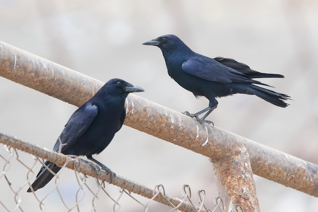 Tamaulipas Crow