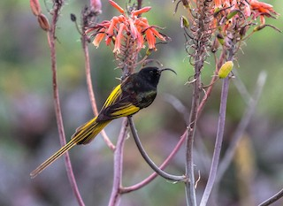 - Golden-winged Sunbird