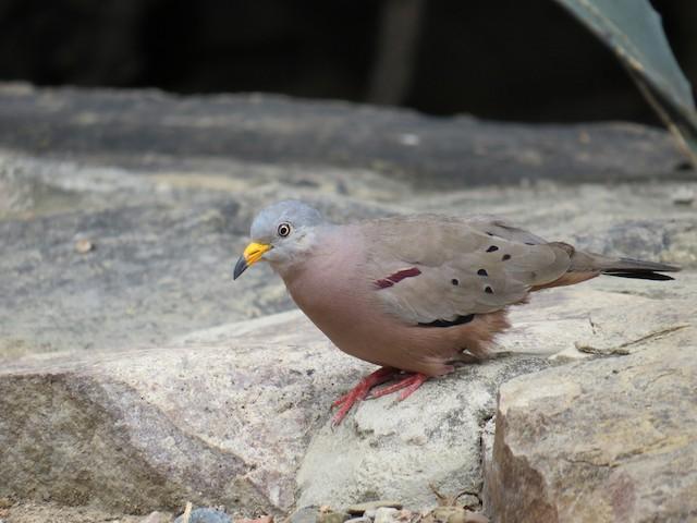 Croaking Ground Dove