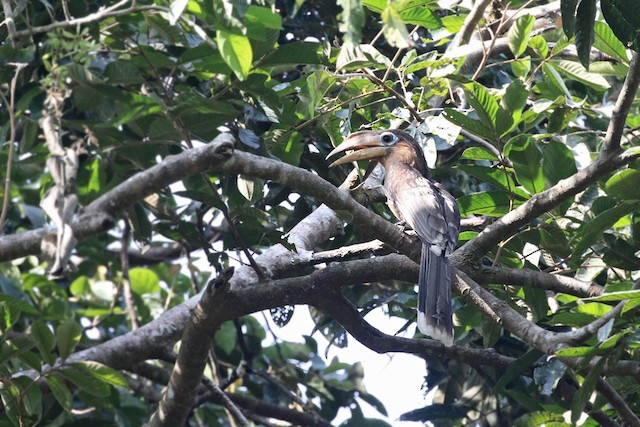 Rusty-cheeked Hornbill