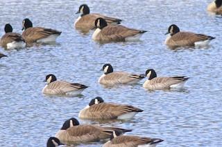 Cackling Goose, ML89976171