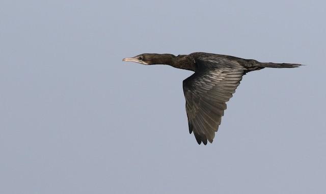 Little Cormorant