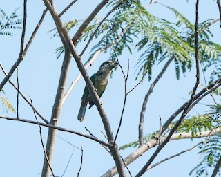 - Red-vented Barbet