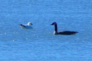 Ross's Goose, ML90204111
