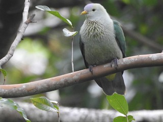 Gray-green Fruit-Dove