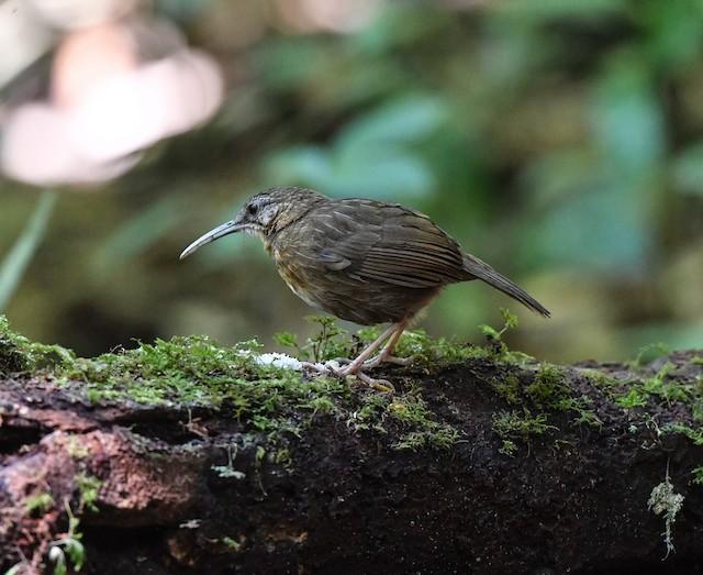Short-tailed Scimitar-Babbler
