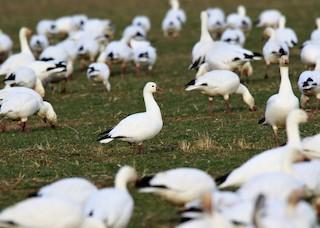 Ross's Goose, ML90390301