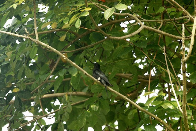 Square-tailed Drongo-Cuckoo