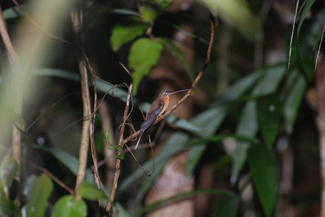 Needle-billed Hermit