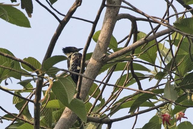 Black-and-buff Woodpecker