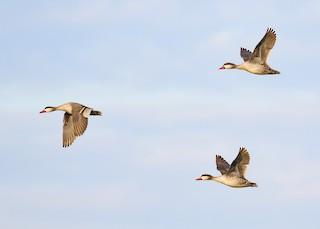 Red-billed Duck, ML90611451