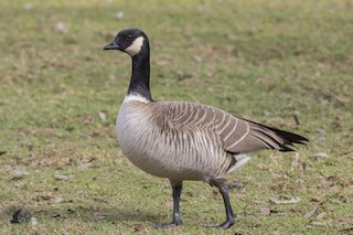 Cackling Goose (Aleutian), ML90668751